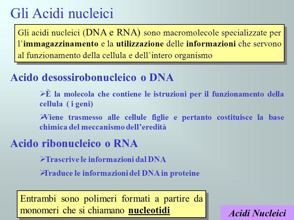 Acidi Nucleici Ciascun nucleotide è formato da tre molecole Fosfato Zuccher o Base azotat a Lo zucchero (un pentoso) è: Il Desossiribosio nel DNA Il Ribosio nel RNA I diversi nucleotidi sono legati tra loro attraverso il gruppo fosfato Gruppo fosfato Zucchero pentoso Base azotata