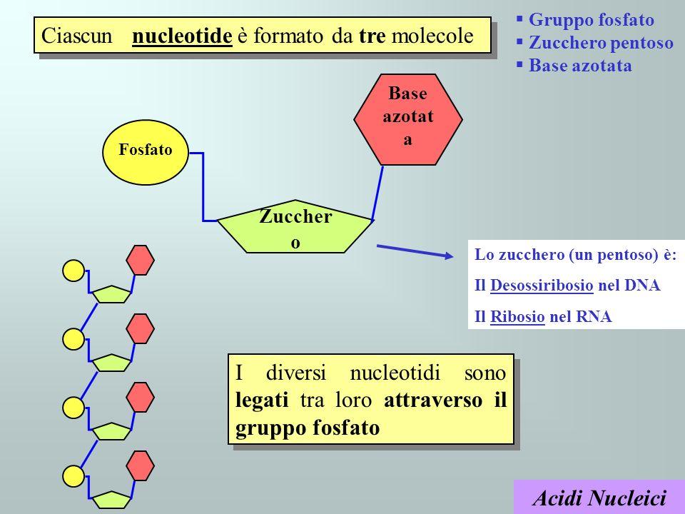 Acidi Nucleici Ciascun nucleotide è formato da tre molecole Fosfato Zuccher o Base azotat a Lo zucchero (un pentoso) è: Il Desossiribosio nel DNA Il R