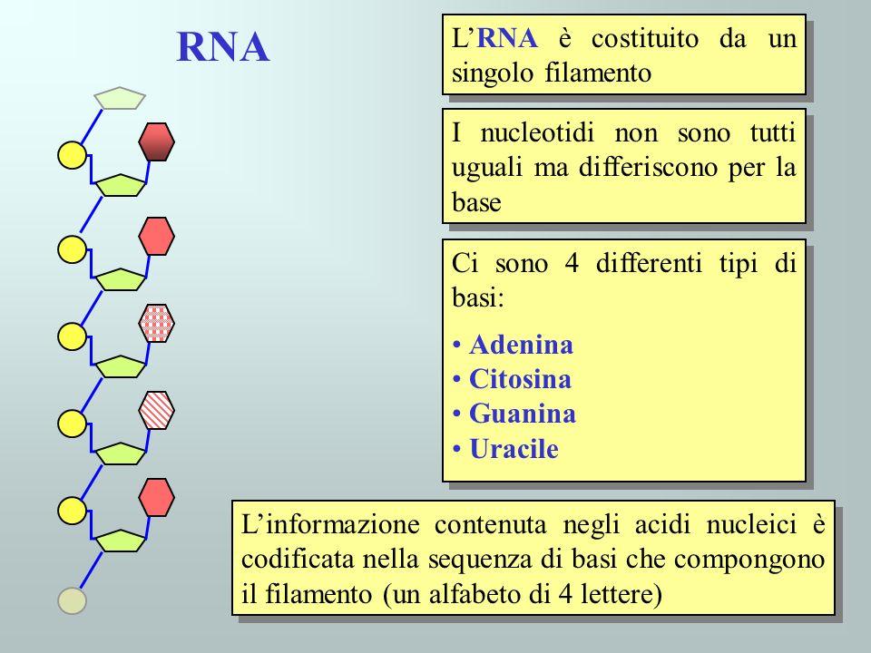 Il DNA è simile per struttura all RNA ma: 1)Al posto delluracile cè la timina 2)Il DNA è costituito da un doppio filamento Il DNA è simile per struttura all RNA ma: 1)Al posto delluracile cè la timina 2)Il DNA è costituito da un doppio filamento Tra le basi dei due filamenti si formano legami idrogeno che li tengono uniti Nel DNA le basi appartenenti ai due filamenti sono appaiate in modo caratteristico ( timina con adenina, guanina con citosina) DNA