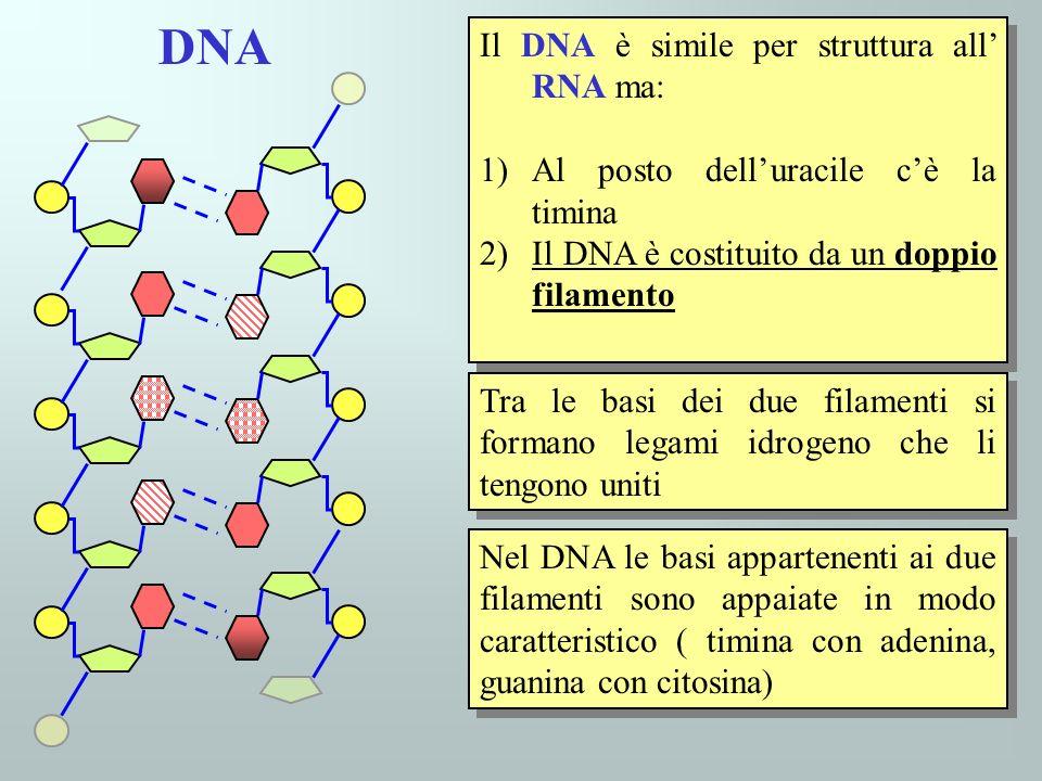 Il DNA è simile per struttura all RNA ma: 1)Al posto delluracile cè la timina 2)Il DNA è costituito da un doppio filamento Il DNA è simile per struttu