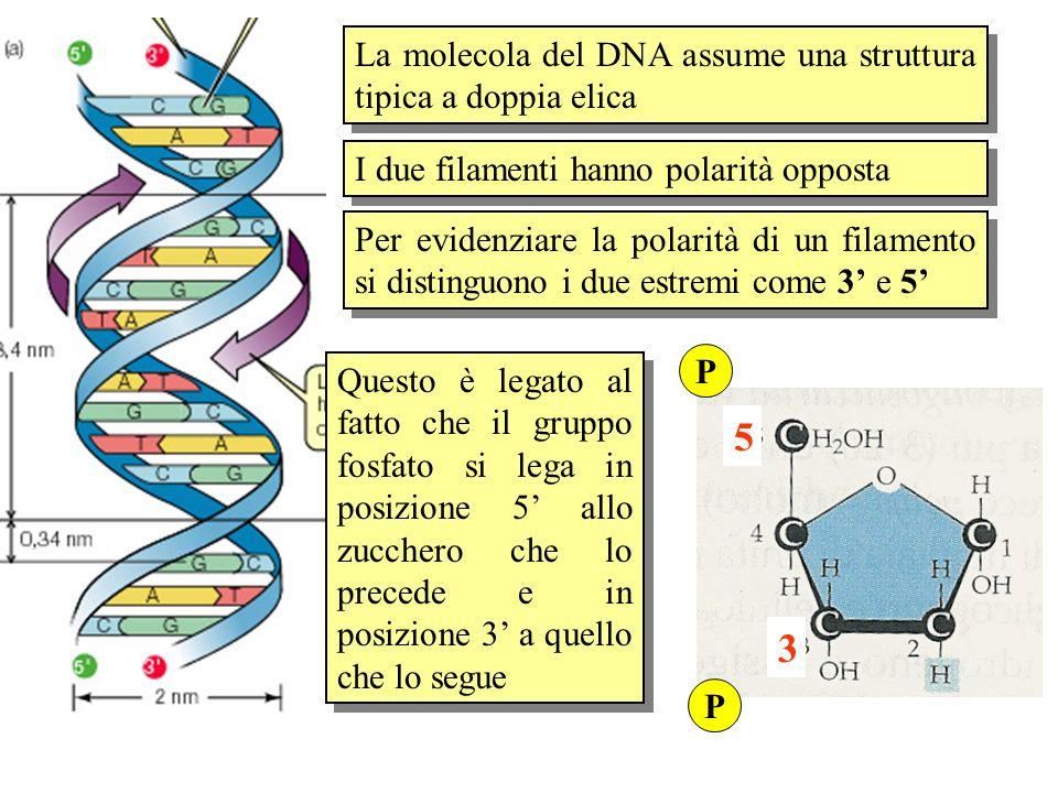 I due filamenti hanno polarità opposta Per evidenziare la polarità di un filamento si distinguono i due estremi come 3 e 5 Questo è legato al fatto ch