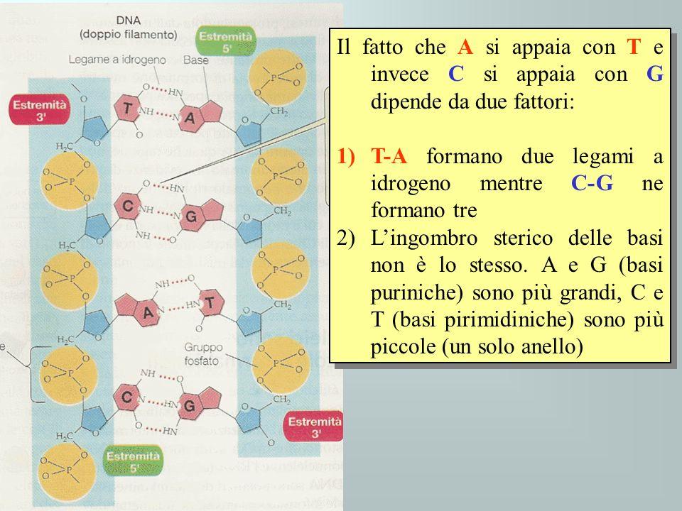 Il fatto che A si appaia con T e invece C si appaia con G dipende da due fattori: 1)T-A formano due legami a idrogeno mentre C-G ne formano tre 2)Ling