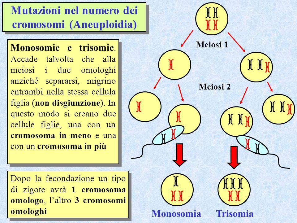 Mutazioni nel numero dei cromosomi (Aneuploidia) Monosomie e trisomie. Accade talvolta che alla meiosi i due omologhi anziché separarsi, migrino entra