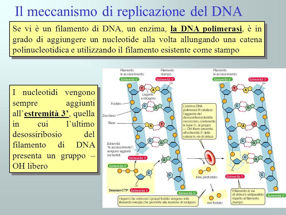 I nucleotidi vengono sempre aggiunti allestremità 3, quella in cui lultimo desossiribosio del filamento di DNA presenta un gruppo – OH libero Il meccanismo di replicazione del DNA Se vi è un filamento di DNA, un enzima, la DNA polimerasi, è in grado di aggiungere un nucleotide alla volta allungando una catena polinucleotidica e utilizzando il filamento esistente come stampo
