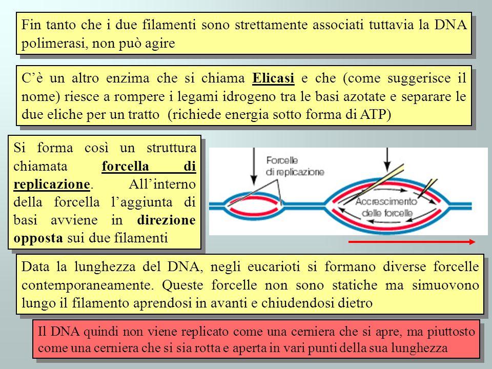 Fin tanto che i due filamenti sono strettamente associati tuttavia la DNA polimerasi, non può agire Cè un altro enzima che si chiama Elicasi e che (come suggerisce il nome) riesce a rompere i legami idrogeno tra le basi azotate e separare le due eliche per un tratto (richiede energia sotto forma di ATP) Il DNA quindi non viene replicato come una cerniera che si apre, ma piuttosto come una cerniera che si sia rotta e aperta in vari punti della sua lunghezza Si forma così un struttura chiamata forcella di replicazione.