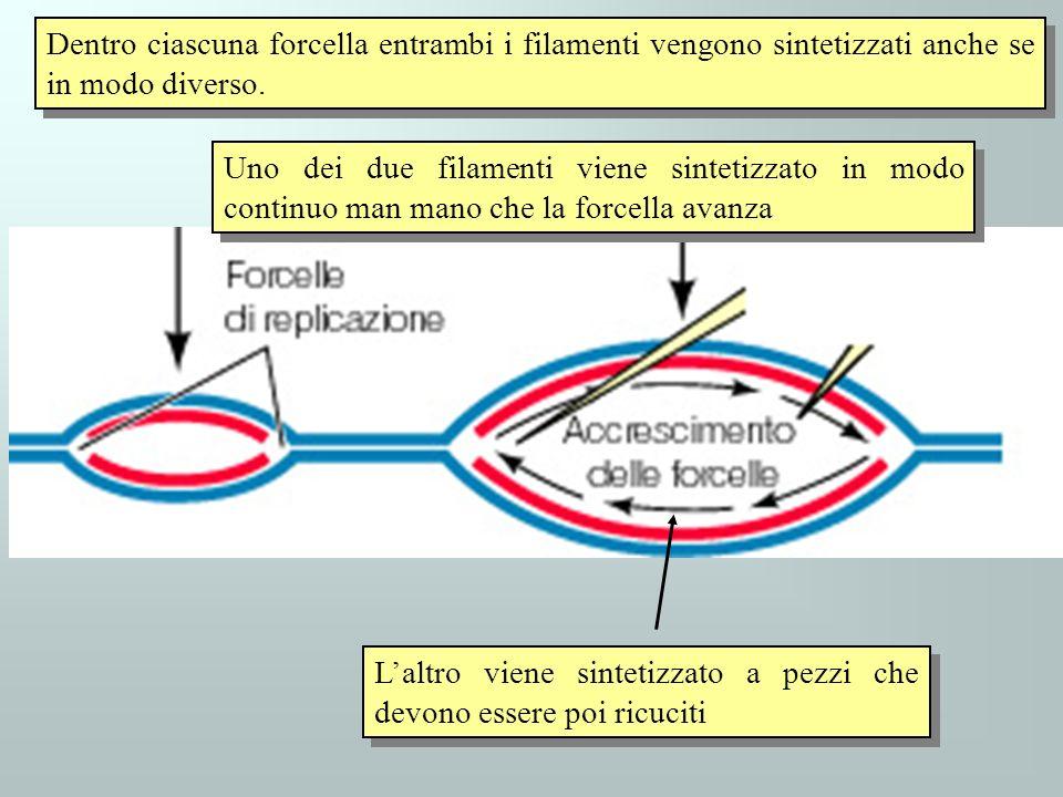 Dentro ciascuna forcella entrambi i filamenti vengono sintetizzati anche se in modo diverso.