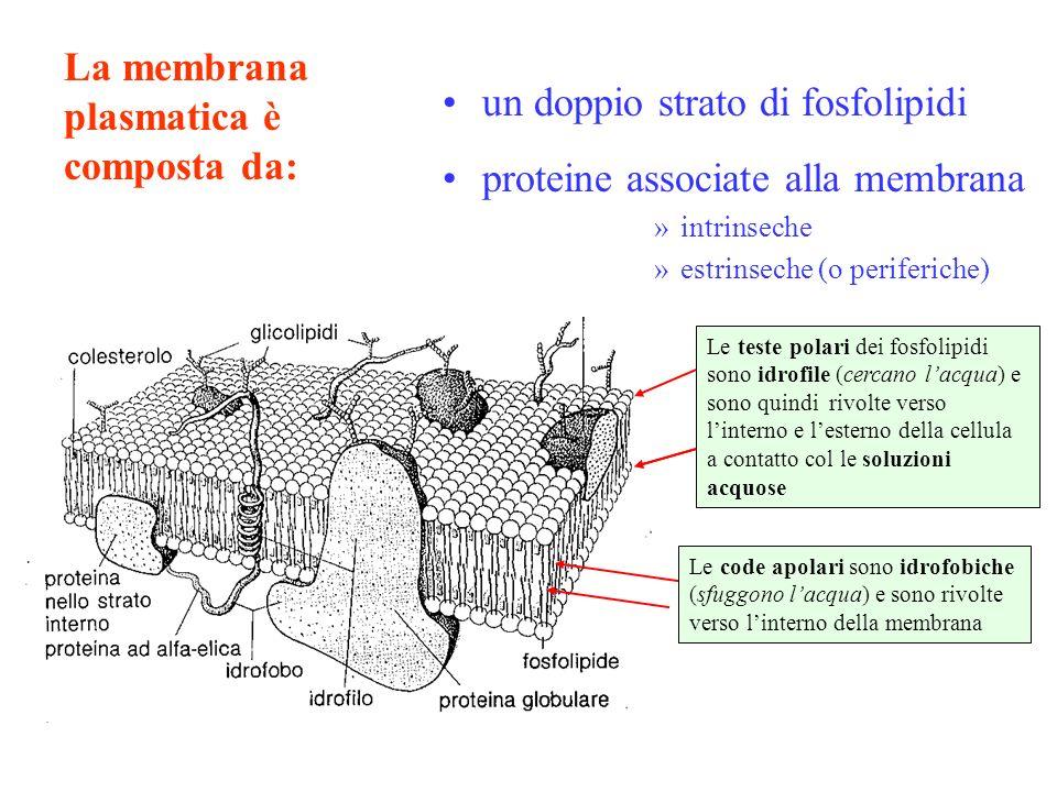 La membrana plasmatica è composta da: un doppio strato di fosfolipidi proteine associate alla membrana »intrinseche »estrinseche (o periferiche) Le te