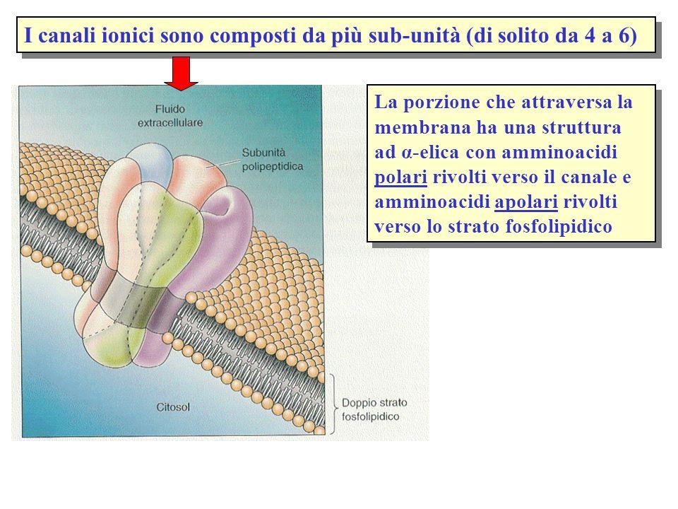 I canali ionici sono composti da più sub-unità (di solito da 4 a 6) La porzione che attraversa la membrana ha una struttura ad α-elica con amminoacidi