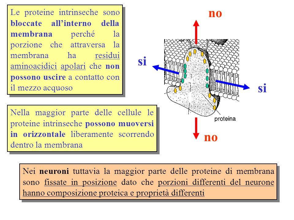 NB: La scala è logaritmica per cui quando ad esempio si passa da 10 -8 a 10 -6 la permeabilità diventa 100 volte maggiore Caratteristiche di permeabilità del doppio strato fosfolipidico In una membrana artificiale costituita da soli fosfolipidi: Passano facilmente i gas, le molecole liposolubili e idrofobiche ( O 2, lipidi ) Passano più lentamente le molecole polari ( H 2 O, CO 2 ) Non passano le molecole cariche (ioni: K +, Na +, Cl - ) A parità di solubilità nei lipidi le molecole piccole passano più facilmente delle grandi ( H 2 O diffonde più rapidamente di monosaccaridi o aminoacidi )