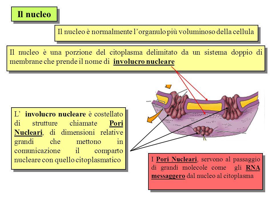 Il nucleo Il nucleo è normalmente lorganulo più voluminoso della cellula Il nucleo è una porzione del citoplasma delimitato da un sistema doppio di me
