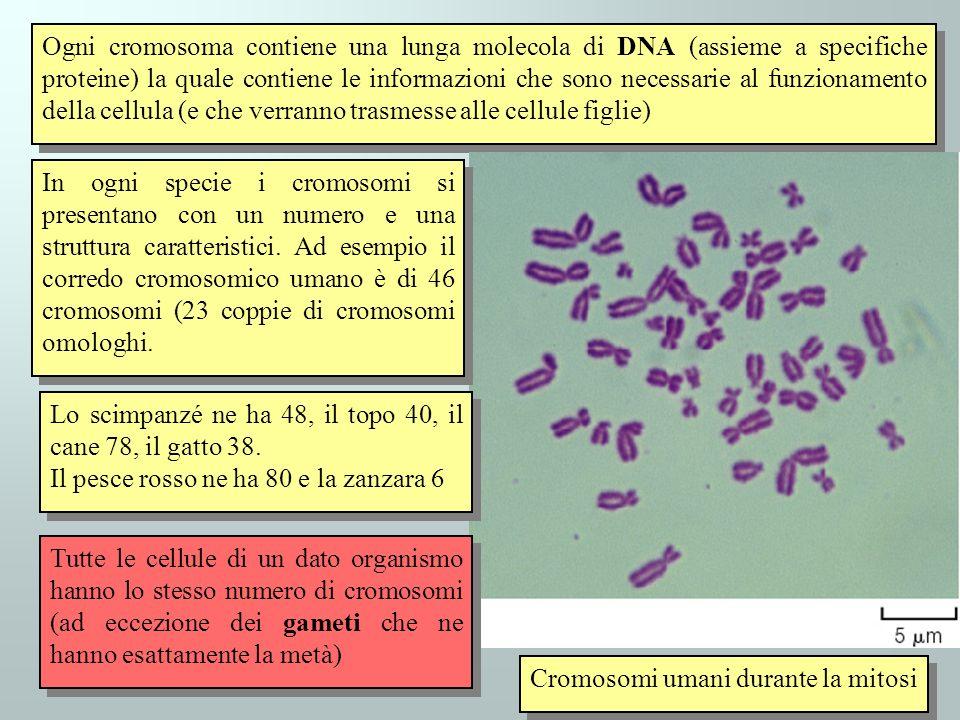 Ogni cromosoma contiene una lunga molecola di DNA (assieme a specifiche proteine) la quale contiene le informazioni che sono necessarie al funzionamen