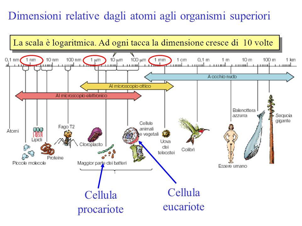 Dimensioni relative dagli atomi agli organismi superiori La scala è logaritmica. Ad ogni tacca la dimensione cresce di 10 volte Cellula procariote Cel