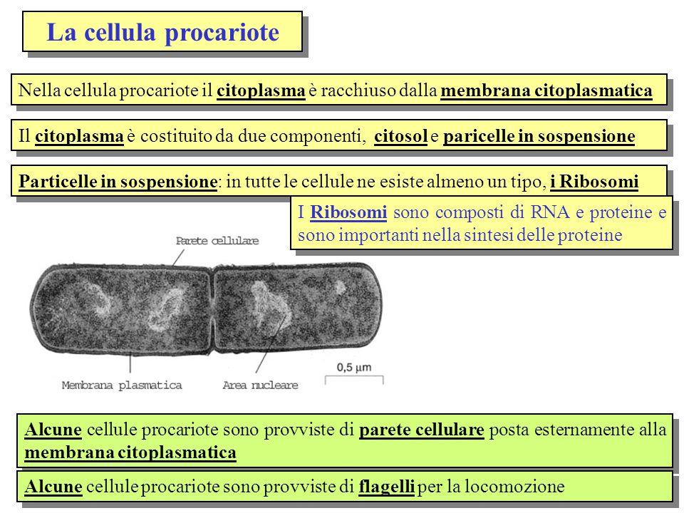 La cellula procariote Nella cellula procariote il citoplasma è racchiuso dalla membrana citoplasmatica Il citoplasma è costituito da due componenti, c