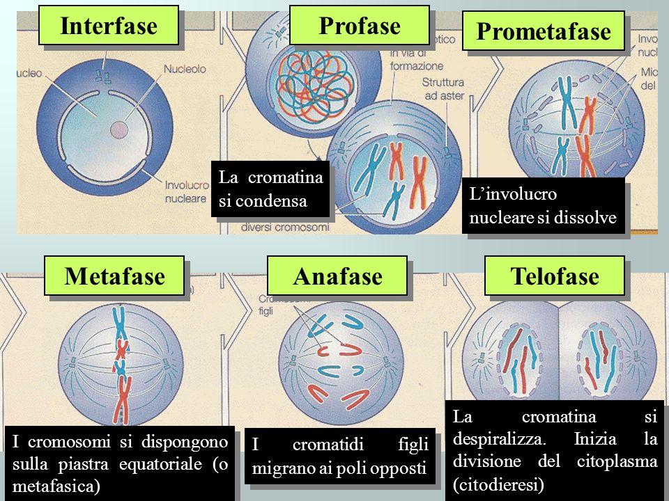Interfase Profase Prometafase Metafase Anafase Telofase Linvolucro nucleare si dissolve La cromatina si condensa I cromosomi si dispongono sulla piast