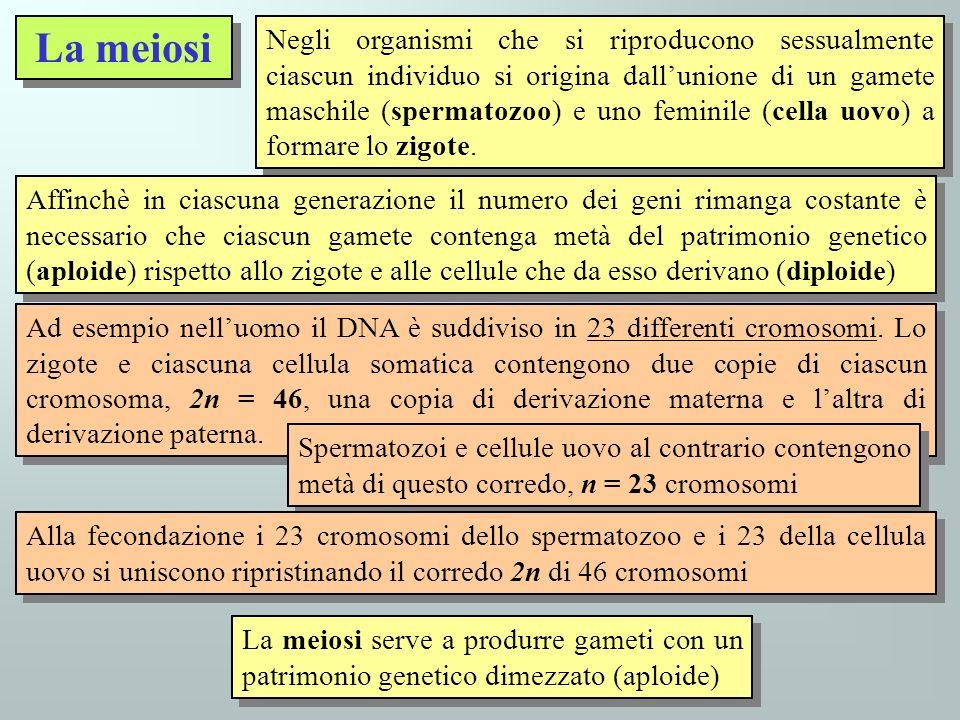 La meiosi La meiosi serve a produrre gameti con un patrimonio genetico dimezzato (aploide) Negli organismi che si riproducono sessualmente ciascun ind