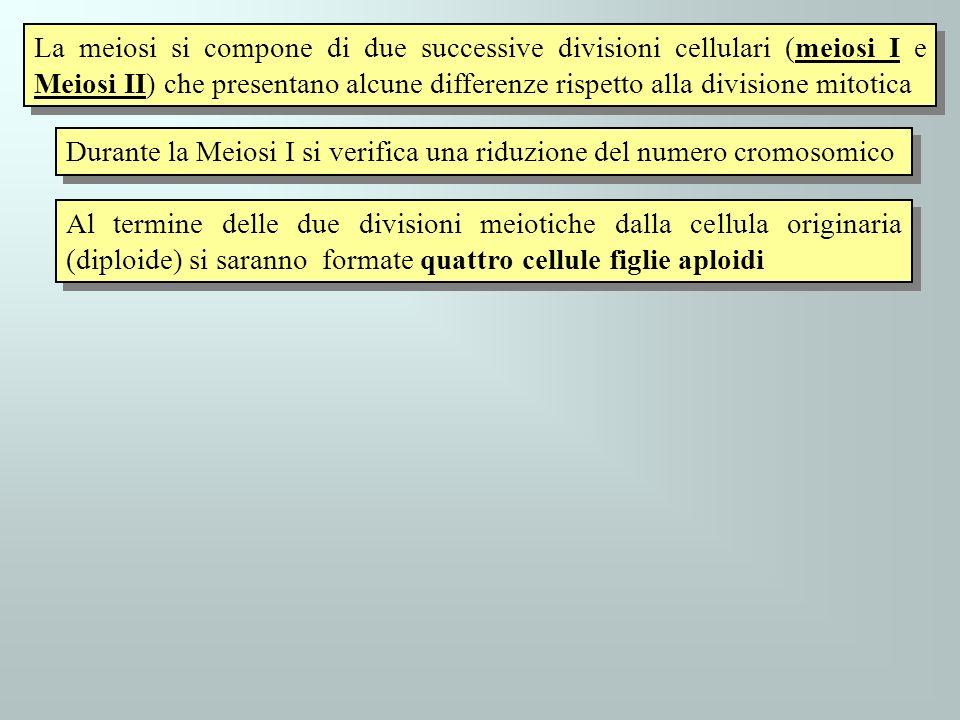 La meiosi si compone di due successive divisioni cellulari (meiosi I e Meiosi II) che presentano alcune differenze rispetto alla divisione mitotica Du