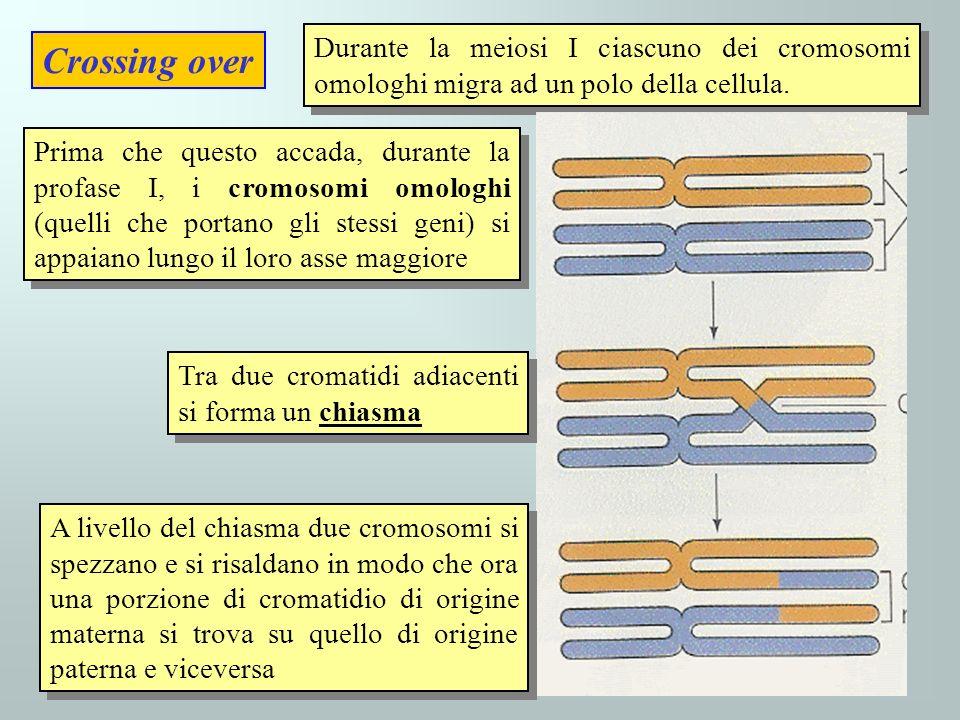 Crossing over Durante la meiosi I ciascuno dei cromosomi omologhi migra ad un polo della cellula. Prima che questo accada, durante la profase I, i cro
