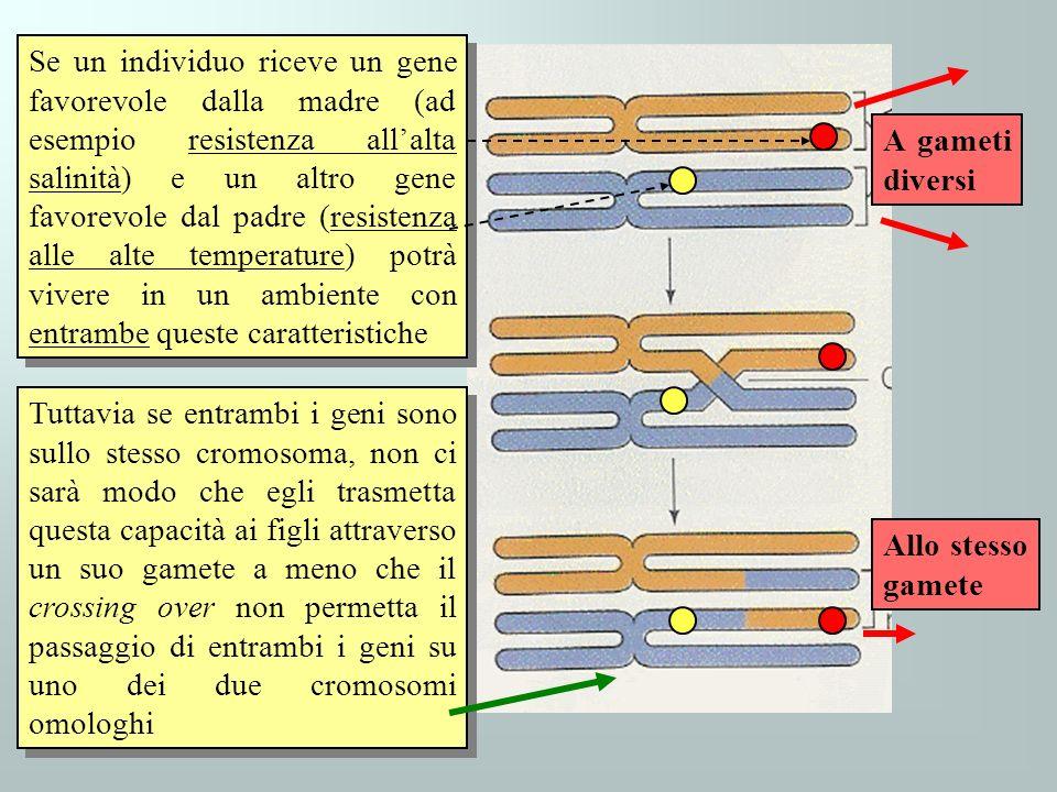 Se un individuo riceve un gene favorevole dalla madre (ad esempio resistenza allalta salinità) e un altro gene favorevole dal padre (resistenza alle a