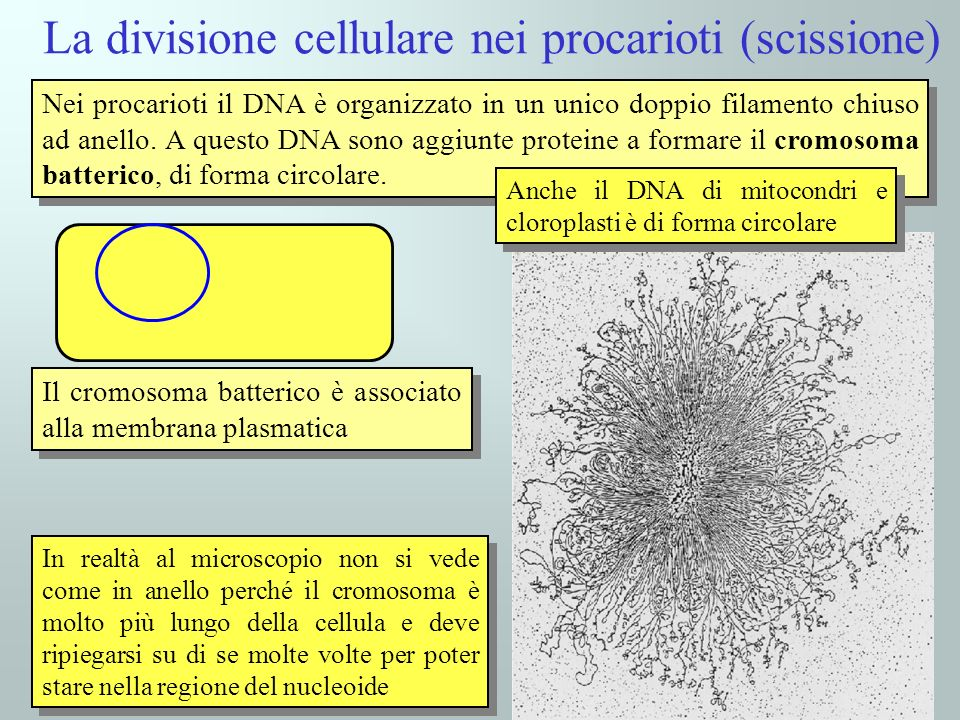 La divisione cellulare nei procarioti (scissione) Nei procarioti il DNA è organizzato in un unico doppio filamento chiuso ad anello. A questo DNA sono
