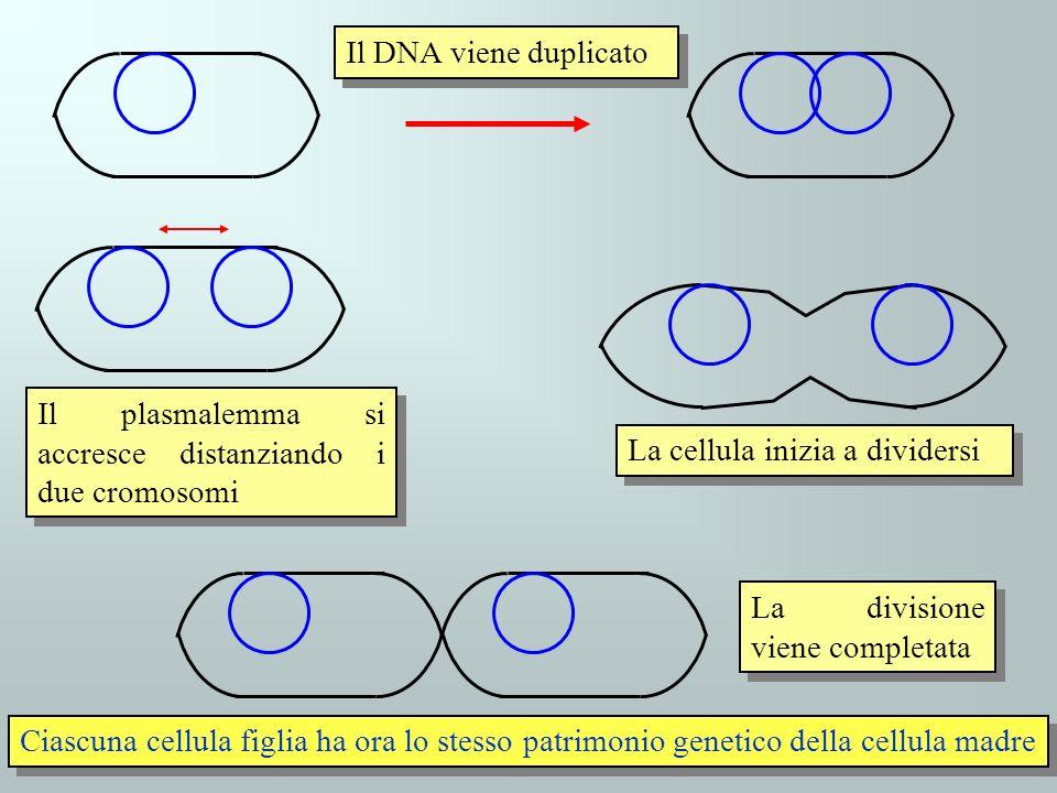 Il DNA viene duplicato Il plasmalemma si accresce distanziando i due cromosomi La cellula inizia a dividersi La divisione viene completata Ciascuna ce