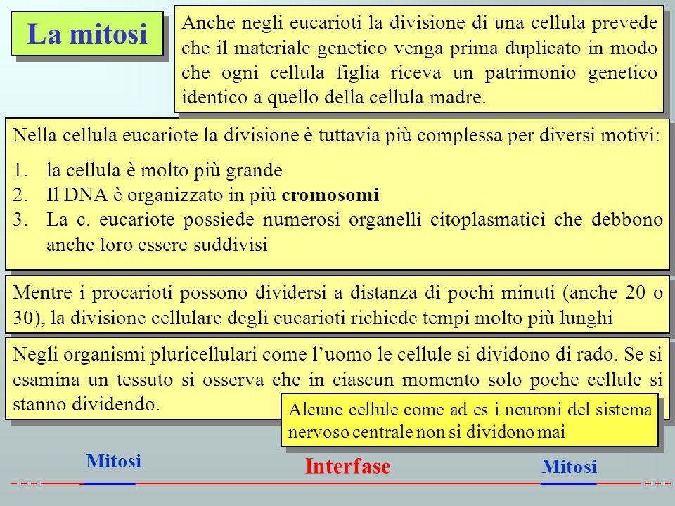 La mitosi Nella cellula eucariote la divisione è tuttavia più complessa per diversi motivi: 1.la cellula è molto più grande 2.Il DNA è organizzato in