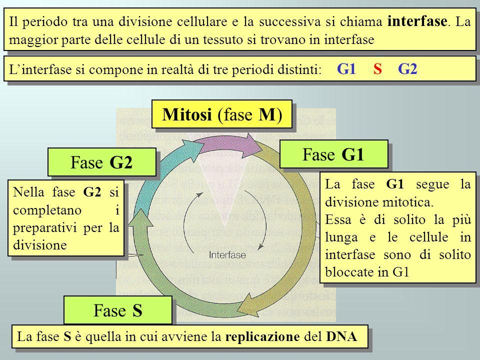 Il periodo tra una divisione cellulare e la successiva si chiama interfase. La maggior parte delle cellule di un tessuto si trovano in interfase Linte