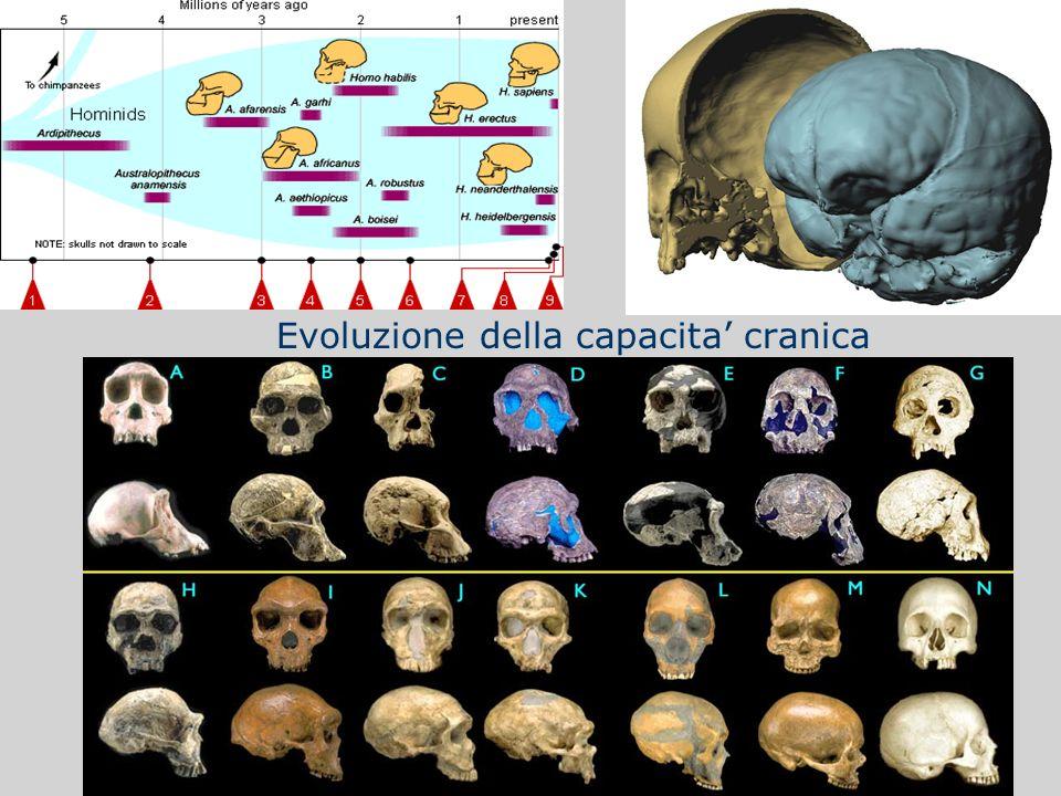 Evoluzione della capacita cranica