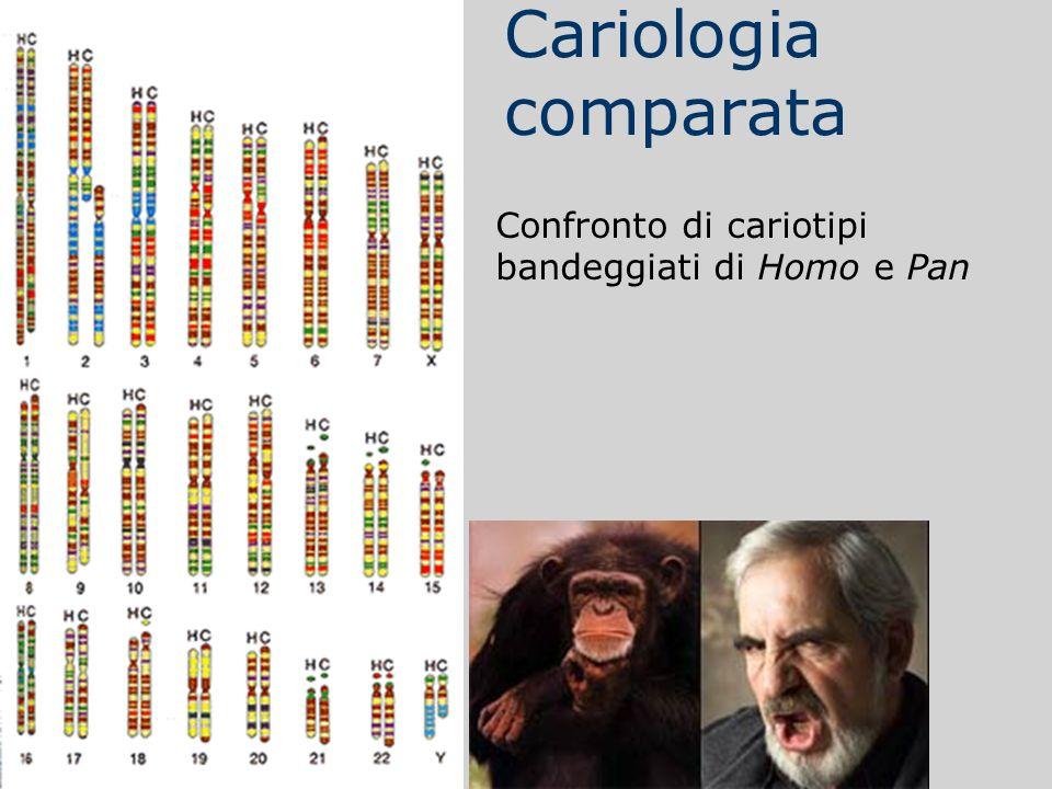 Cariologia comparata Confronto di cariotipi bandeggiati di Homo e Pan
