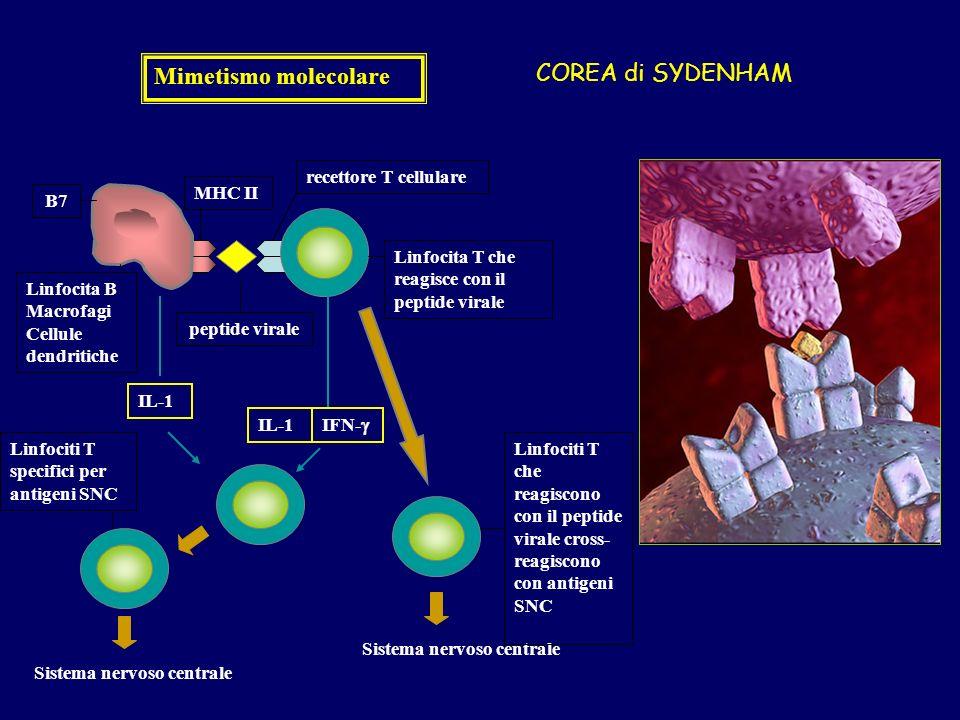 Mimetismo molecolare recettore T cellulare peptide virale Linfocita B Macrofagi Cellule dendritiche MHC II IL-1 IFN- Sistema nervoso centrale Linfocita T che reagisce con il peptide virale Linfociti T specifici per antigeni SNC Linfociti T che reagiscono con il peptide virale cross- reagiscono con antigeni SNC B7 COREA di SYDENHAM