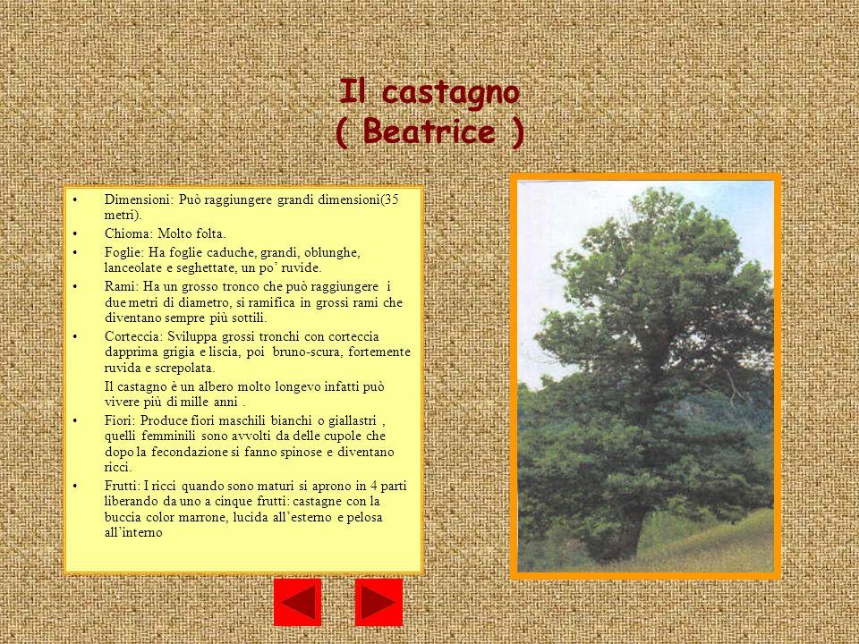 Il castagno ( Beatrice ) Dimensioni: Può raggiungere grandi dimensioni(35 metri). Chioma: Molto folta. Foglie: Ha foglie caduche, grandi, oblunghe, la