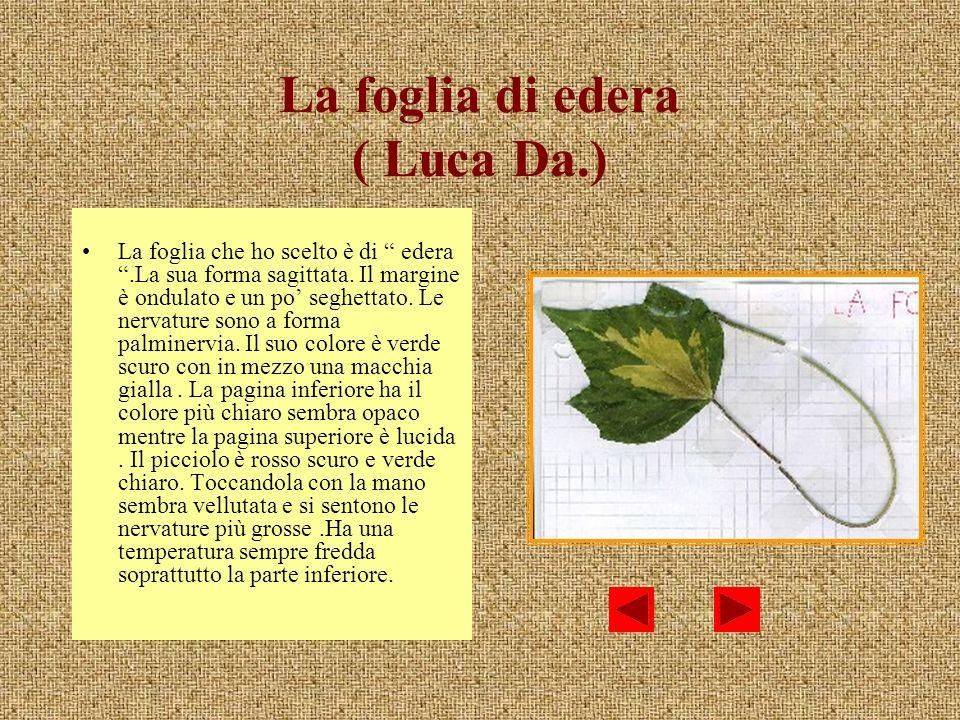 La foglia di edera ( Luca Da.) La foglia che ho scelto è di edera.La sua forma sagittata. Il margine è ondulato e un po seghettato. Le nervature sono