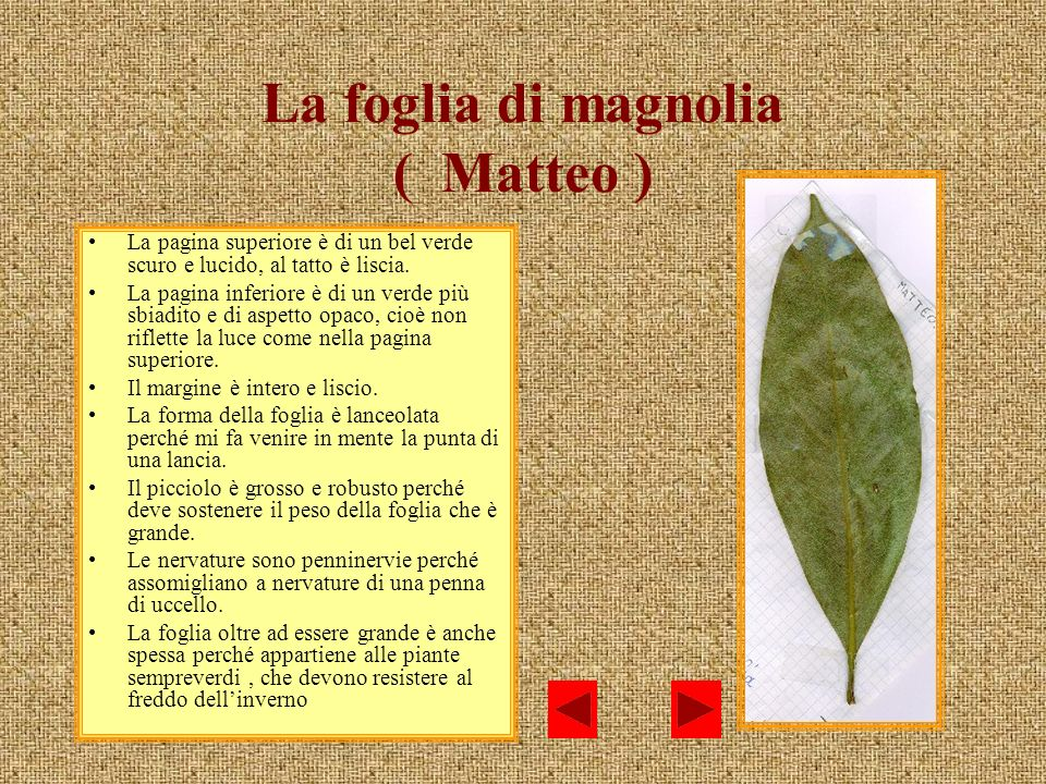 La foglia di magnolia ( Matteo ) La pagina superiore è di un bel verde scuro e lucido, al tatto è liscia. La pagina inferiore è di un verde più sbiadi