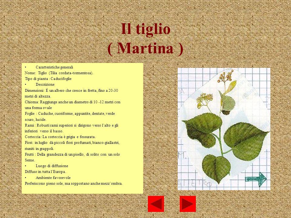 Il tiglio ( Martina ) Caratteristiche generali Nome: Tiglio (Tilia cordata-tormentosa). Tipo di pianta : Caducifoglie Descrizione Dimensioni: É un alb