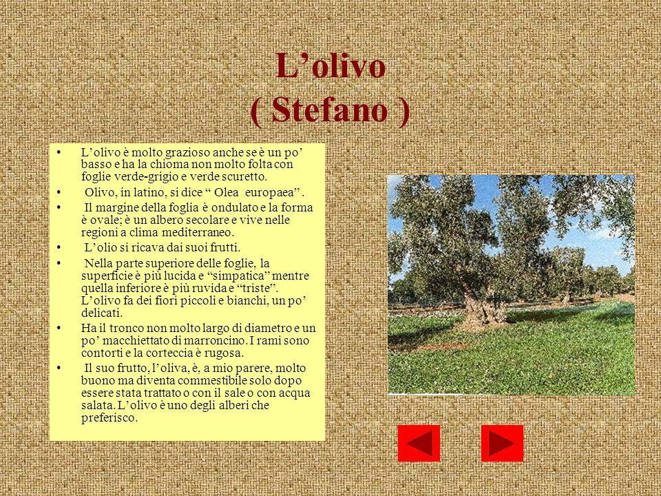 Lolivo ( Stefano ) Lolivo è molto grazioso anche se è un po basso e ha la chioma non molto folta con foglie verde-grigio e verde scuretto. Olivo, in l