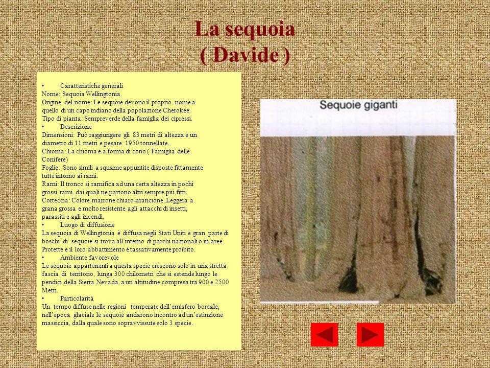 La sequoia ( Davide ) Caratteristiche generali Nome: Sequoia Wellingtonia Origine del nome: Le sequoie devono il proprio nome a quello di un capo indi