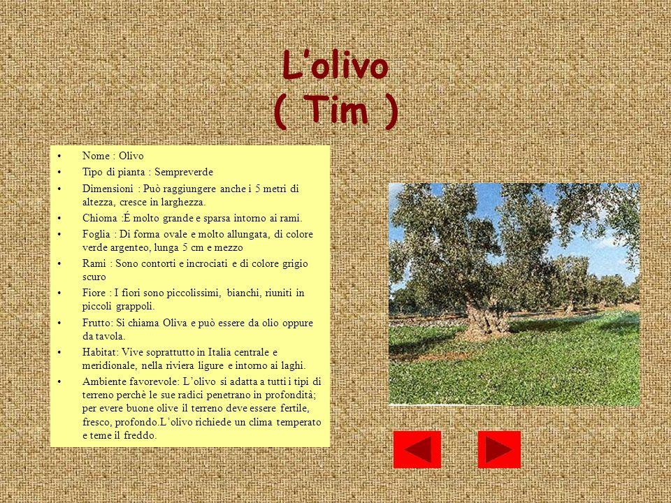 Lolivo ( Tim ) Nome : Olivo Tipo di pianta : Sempreverde Dimensioni : Può raggiungere anche i 5 metri di altezza, cresce in larghezza. Chioma :É molto