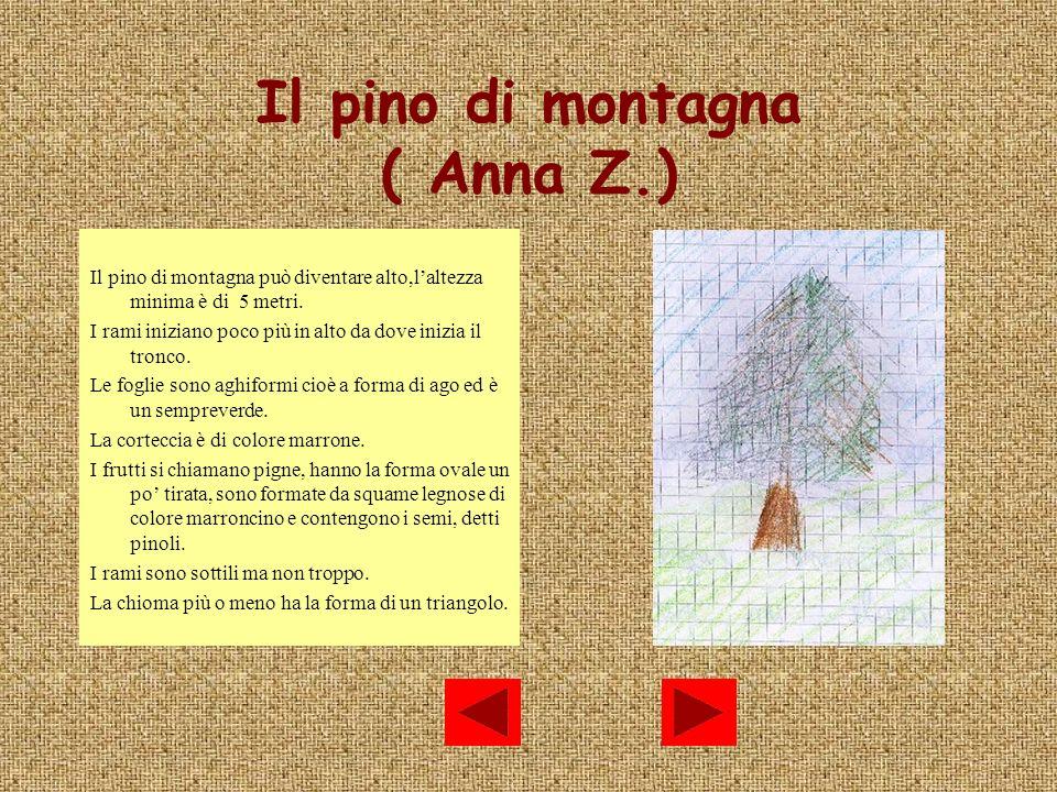 Il pino di montagna ( Anna Z.) Il pino di montagna può diventare alto,laltezza minima è di 5 metri. I rami iniziano poco più in alto da dove inizia il