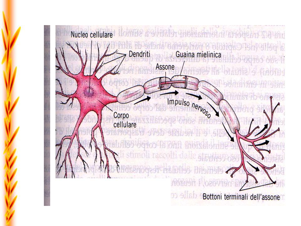 +55mV 0mV -70mV -80mV 123123 Limpulso trasmesso dai neuroni è chiamato Potenziale dazione e scarica seguendo la legge del tutto o nulla Tempo in msec