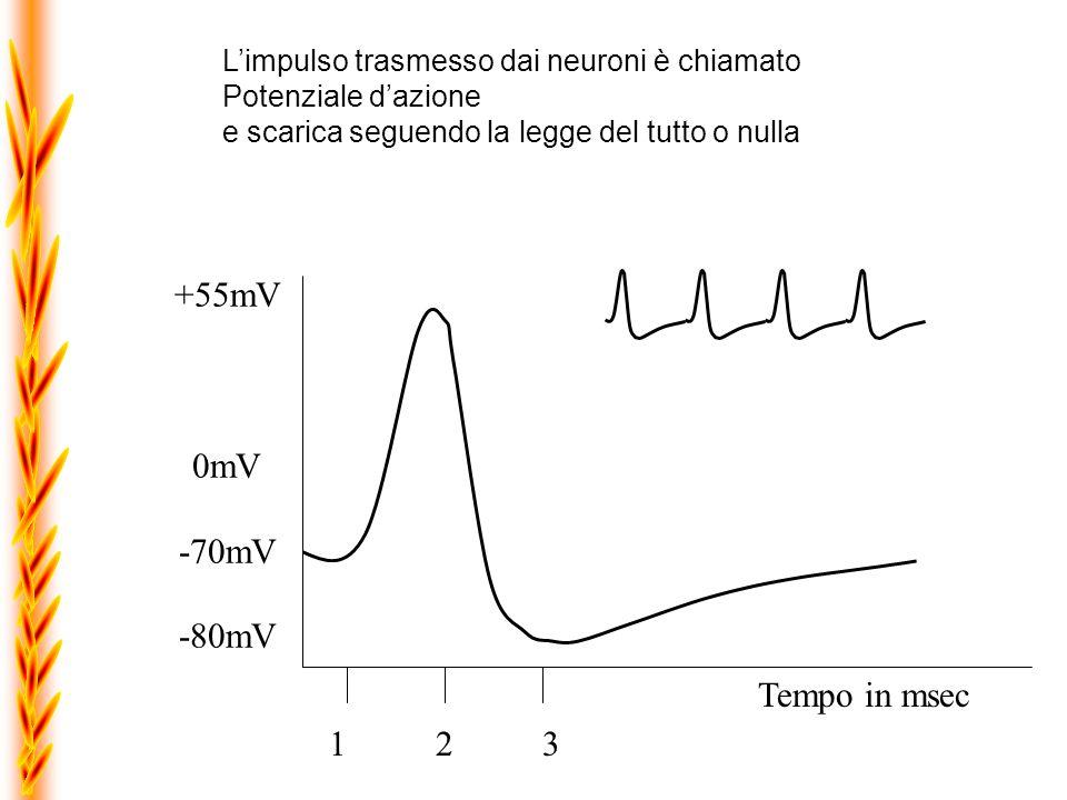 Limpulso nervoso è un evento transitorio, caratterizzato da unalterazione della membrana cellulare, che, per un breve periodo di temp, consente lingresso di ioni sodio.