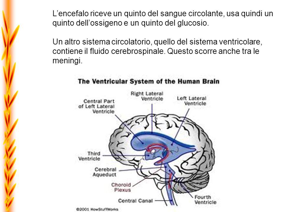Lencefalo riceve un quinto del sangue circolante, usa quindi un quinto dellossigeno e un quinto del glucosio. Un altro sistema circolatorio, quello de