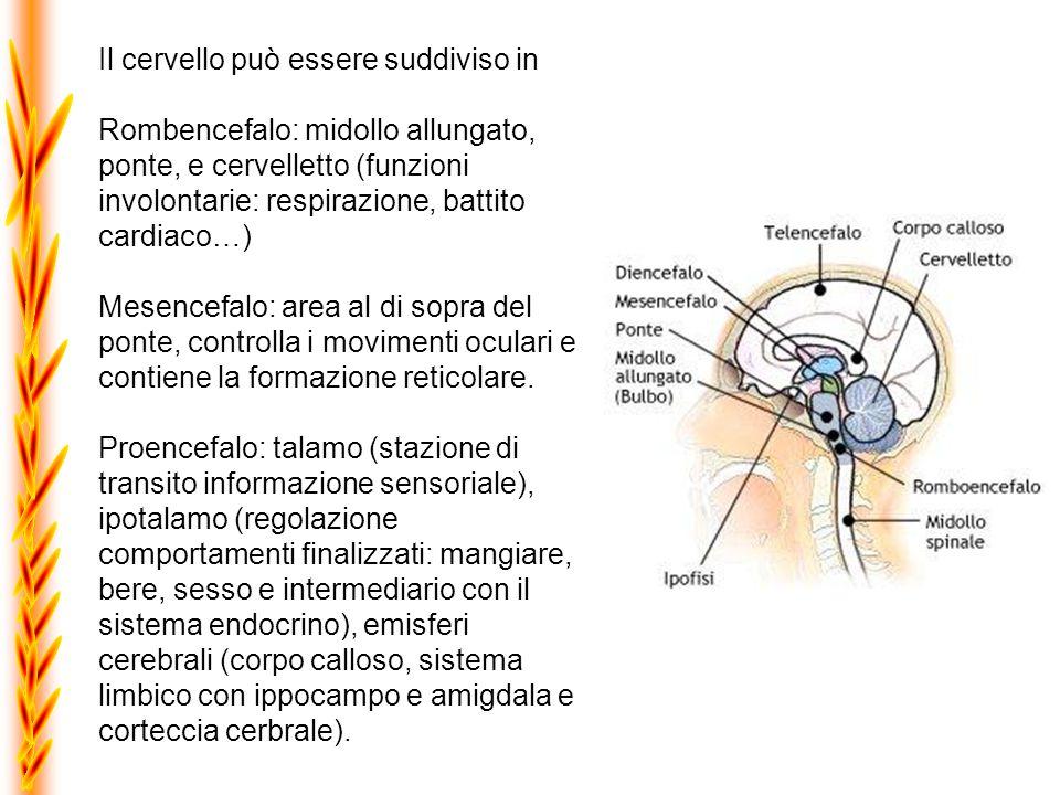 La corteccia cerbrale può essere suddivisa in quattro lobi: frontale - parietale - temporale - occipitale.