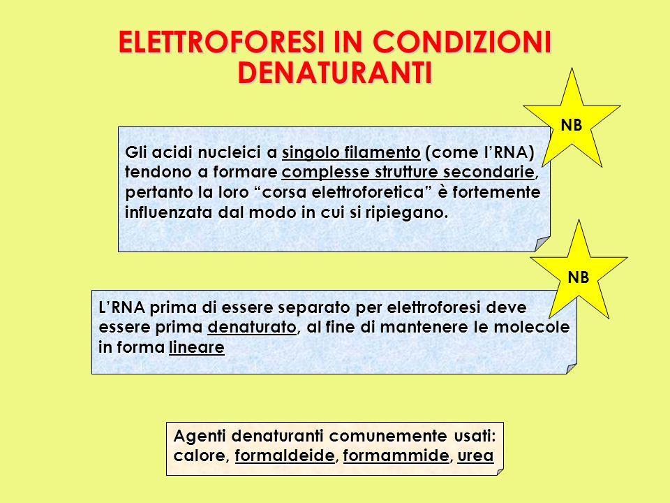 Gli acidi nucleici a singolo filamento (come lRNA) tendono a formare complesse strutture secondarie, pertanto la loro corsa elettroforetica è fortemen