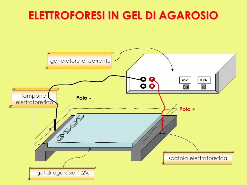 45V0,2A tampone elettroforetico generatore di corrente Polo + Polo - gel di agarosio 1.2% scatola elettroforetica ELETTROFORESI IN GEL DI AGAROSIO