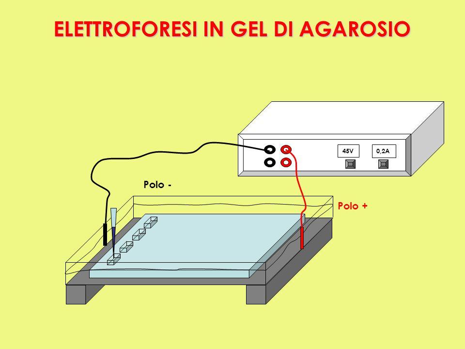 45V0,2A Polo + Polo - ON ELETTROFORESI IN GEL DI AGAROSIO