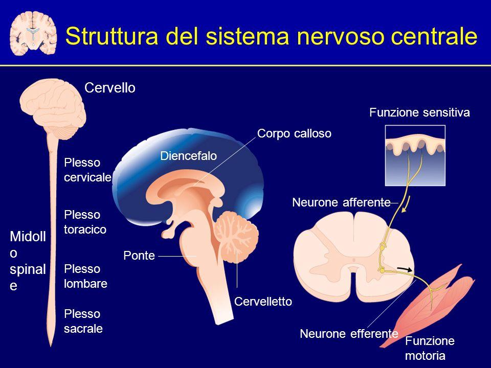 Struttura del sistema nervoso centrale Plesso cervicale Cervello Diencefalo Corpo calloso Cervelletto Ponte Plesso toracico Plesso lombare Plesso sacrale Funzione sensitiva Neurone efferente Neurone afferente Funzione motoria Midoll o spinal e