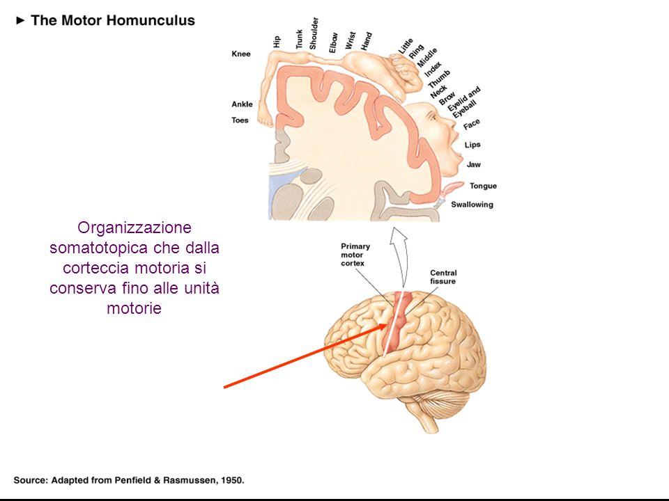 13 Organizzazione somatotopica che dalla corteccia motoria si conserva fino alle unità motorie
