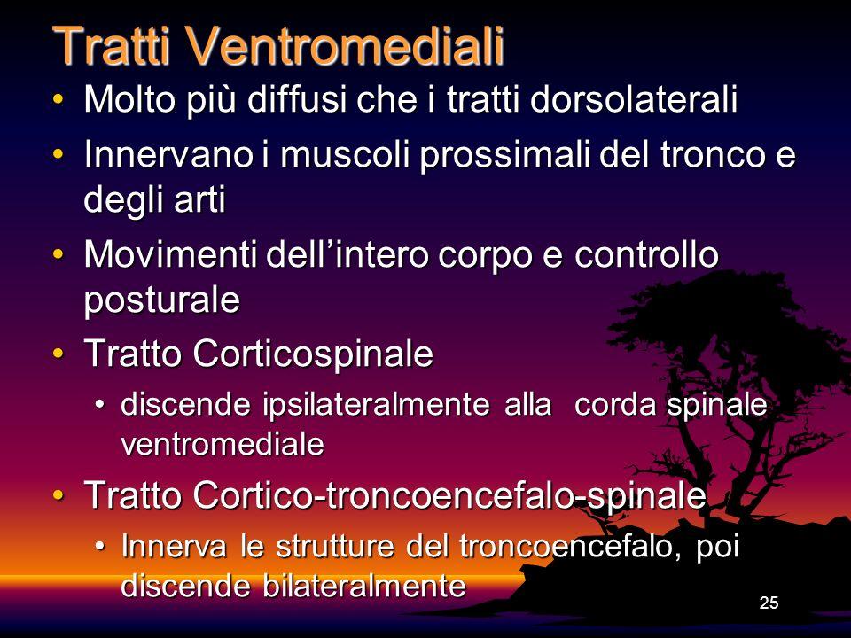 25 Tratti Ventromediali Molto più diffusi che i tratti dorsolateraliMolto più diffusi che i tratti dorsolaterali Innervano i muscoli prossimali del tr