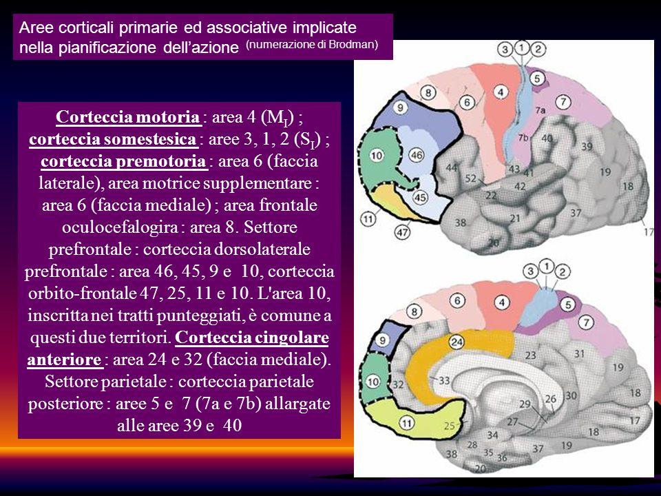 30 Corteccia motoria : area 4 (M I ) ; corteccia somestesica : aree 3, 1, 2 (S I ) ; corteccia premotoria : area 6 (faccia laterale), area motrice sup