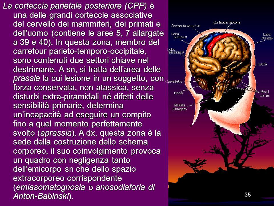 35 La corteccia parietale posteriore (CPP) è una delle grandi corteccie associative del cervello dei mammiferi, dei primati e delluomo (contiene le ar