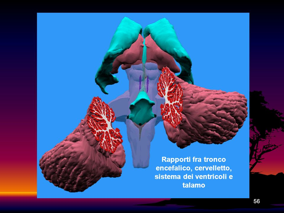 56 Rapporti fra tronco encefalico, cervelletto, sistema dei ventricoli e talamo